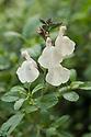 Salvia microphylla x greggii 'Heatwave™ Glimmer'