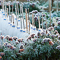 Rows of bottle cloches on an allotment site early in the morning after an overnight frost, late October.