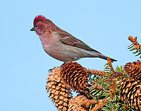 Male Cassin's finch