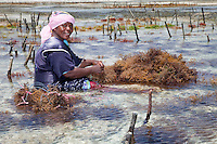 "Jambiani, Zanzibar, Tanzania.  Woman Preparing to Plant Seaweed.  In three weeks it can be harvested, to export to Asian markets after drying.   Tending the plots can only be done at low tide.  Women receive about twelve cents per kilo, ""thin and dried."""