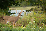 White-tailed buck in September