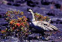 Hawaiian goose Nene (state bird) eating O'helo berries on the volcano on Big Island. Hawaii volcanoes national park
