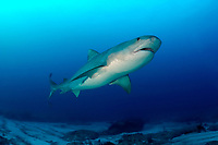 tiger shark, Galeocerdo cuvier, Bahamas, Caribbean (W. Atlantic) (do, dm)