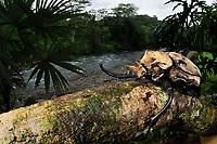 Rhinoceros Beetle, Megasoma elephas, Selva Verde Nature Reserve, Rio Sarapiqui region, Heredia, Costa Rica