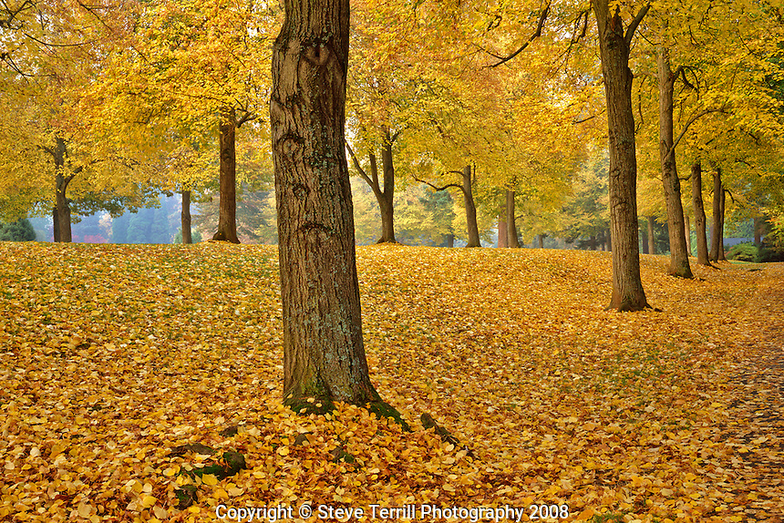 American linden trees in fall colors in Laurelhurst Park in Portland, Oregon