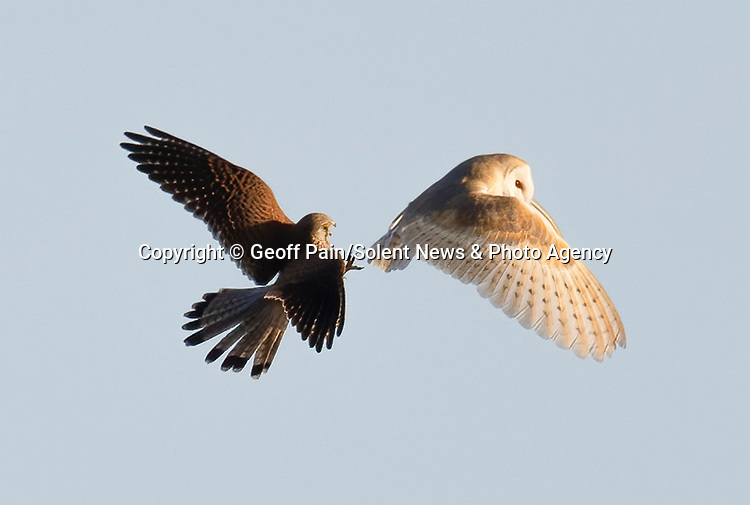 "A kestrel makes grab for 'no lunch' after looking but failing to ambush a barn owl which had already eaten it's catch in the long grass.<br /> <br /> Local Geoff Pain, 71, spotted the pair only 5 minutes away from his home in Settle in North Yorkshire. <br /> <br /> He said, ""The kestrel had seen the barn owl fly down into the grass so it flew across to a nearby post to await its chance. As soon as the owl emerged from the grass it was after it to try and relieve it of its prey only this time it was out of luck as the owl had either failed to catch anything or had already eaten its catch""<br /> <br /> ""I suspectted the owl had caught a vole as did the kestrel as it was was waiting for the owl to reappear for about 2 minutes.  The kestrel was after the owl for the food. In the end they went their seperate ways""<br /> <br /> Please byline: Geoff Pain/Solent News<br /> <br /> © Geoff Pain/Solent News & Photo Agency<br /> UK +44 (0) 2380 458800"