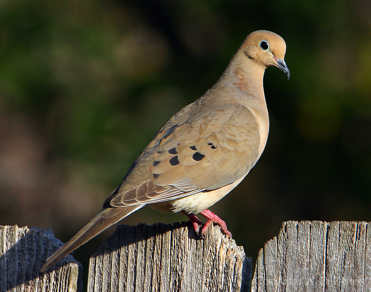 Adult mourning dove