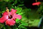 Red flower in bloom