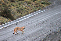 One of the puma families we saw included a mother with two seven-month-old cubs.  Here, one of the cubs crosses the road early one morning.