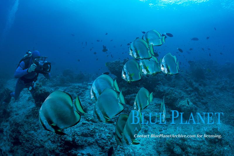 videographer and batfish or spadefish, Platax sp., Sipadan Island, off Borneo, Sabah, Malaysia (Celebes Sea)