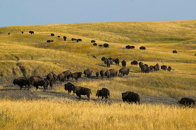 Buffalo Herd on Prairie