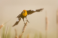 Yellow-headed Blackbird.  Klamath Marsh National Wildlife Refuge, Oregon.