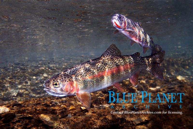 Rainbow Trout, Oncorhynchus mykiss, Gallatin River Montana