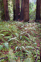 Ferns on forest floor in the redwood trees, Sequoia sempervirens, in Muir Woods