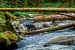 Black bear crossing river on fallen logs, Alaska
