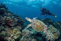 Hawksbill Turtle, Eretmochelys imbricata, and diver, Flinders Reef, Moreton Bay Marine Park, Brisbane, Queensland, Australia, Pacific Ocean (MR)