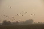 At sunrise a flock of sandhill cranes fly over a field in Nebraska.