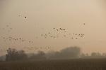 At sunrise a flock of sandhill cranes fly over a field in Nebraska.