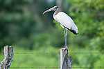 Wood Stork (Myceteria americana) on fence post in marsh / swamp grasslands. Hato La Aurora Reserve, Los Llanos, Colombia.