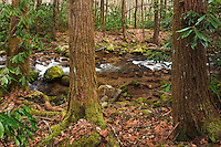 Hemlocks and rhododendron along Rocky Fork
