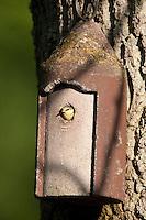 Blaumeise am Nistkasten, Küken guckt aus Flugloch heraus, Meise, Cyanistes caeruleus, Parus caeruleus, Blue Tit, Mésange bleue