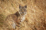 Bobcat (Lynx rufus californicus) in meadow, Tennessee Valley, Mill Valley, Bay Area, California