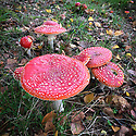 Fly agaric or Fly amanita mushrooms (Amanita muscaria), late October. Highly poisonous.
