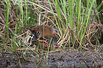 Virginia rails mating