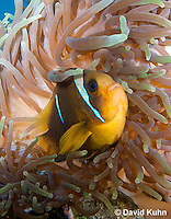 0320-1109  Clark's anemonefish (Yellowtail clownfish), Amphiprion clarkii, with Bulb-tipped Anemone, Entacmaea quadricolor  © David Kuhn/Dwight Kuhn Photography.