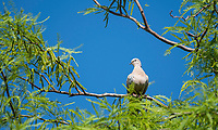 A Eurasian Collared Dove, Streptopelia decaocto, perches in a Mesquite tree in the Desert Botanical Garden, Phoenix, Arizona