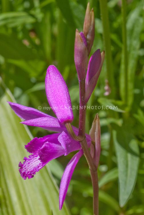 Bletilla striata orchid flowers