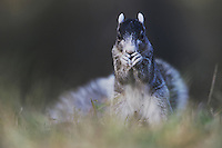 Eastern Fox Squirrel (Sciurus niger), adult eating, Raleigh, Wake County, North Carolina, USA