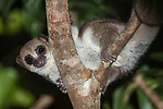 Adult Greater Dwarf Lemur (Cheirogaleus major) in rainforest canopy at night. Masoala National Park, Madagascar.
