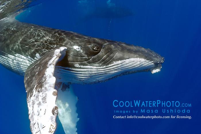 humpback whales, Megaptera novaeangliae, Hawaii, USA, Pacific Ocean