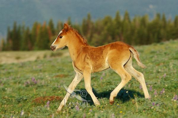 Wild Horse colt.  Mountain meadow.  Western U.S., summer..(Equus caballus)