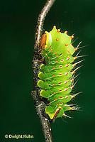 LE41-018b  Polyphemus Moth - caterpillar - Antheraea polyphemus