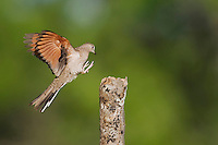 Inca Dove (Columbina inca), adult landing, Sinton, Corpus Christi, Coastal Bend, Texas, USA