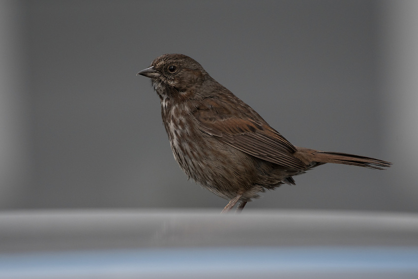 Song Sparrow, Homer, Alaska. Photo by James R. Evans.