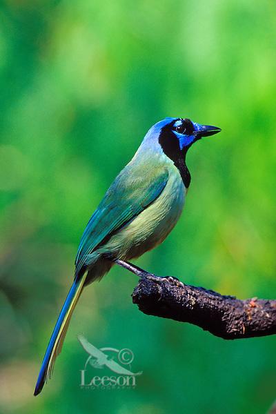 Green Jay (Cyanocorax yncas), Texas.