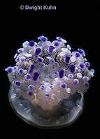 EC15-502z  Mediterranian Jellyfish swimming in ocean, Cotylorhiza tuberculata