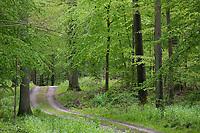 Wald, Laubwald, Buchenwald, Waldweg, Weg, Mischwald im Frühjahr mit Buche, Buchen, Rotbuche, Fagus sylvatica, Beech, Common Beech, Europaen Beech, Fayard, Hêtre commun und Eiche, Quercus