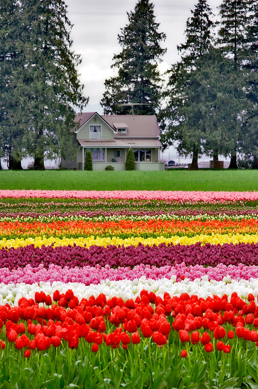 Tulip fields and house. Tulip Town. Mt. Vernon. Washington