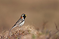 Male Lapland longspur perches on a tundra tussock singing for a mate in early spring, National Petroleum Reserve, Alaska.