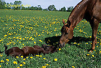 SH07-015z  Arabian Horse - mare with foal