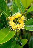 Carpolepislaurifolia