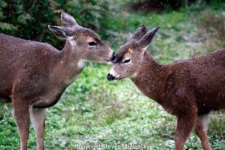A mother deer licks the snow from the face of her fawn.