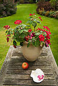 Surbiton, Surrey. Begonias in a pot, apple, shell on a suburban garden table.
