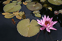 Pink water lily with lily pads