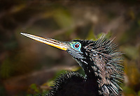 Profile of Male Anhinga head and neck in breeding colors