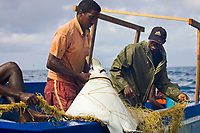 White-ocellated eagle ray, Aetobatus ocellatus, St Marie Island, Madagascar, Indian Ocean